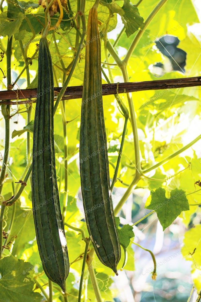 zucchini square in countryside