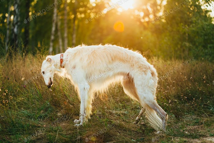 White Russian Dog, Borzoi In Summer Evening, Sunset Sunrise In F