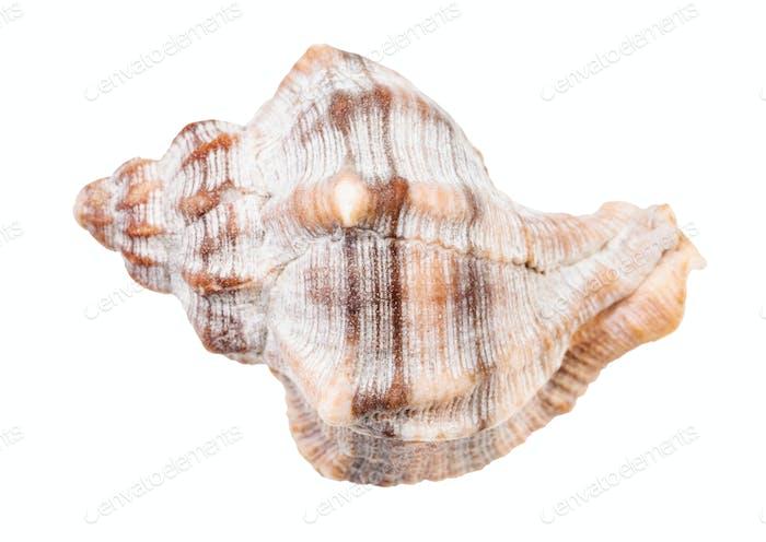 shell of whelk snail isolated on white
