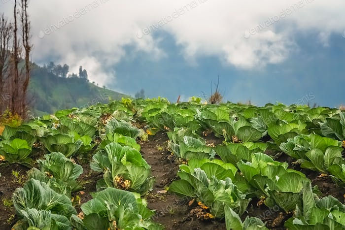 Cabbage plantation in Indonesia
