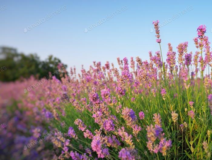 Bush of lavender at sunset.