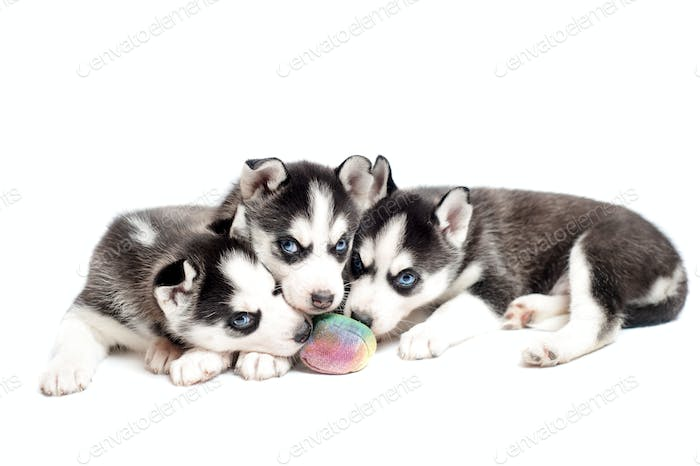 Three siberian husky puppies playing with a ball