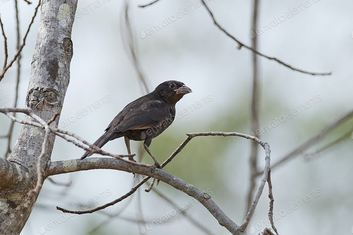 White-billed buffalo weaver (Bubalornis albirostris)