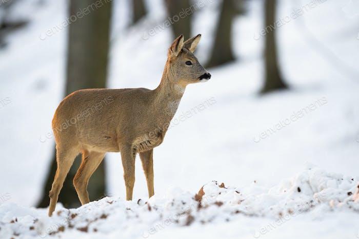 Roe deer doe standing in forest in wintertime nature
