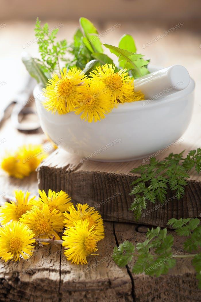 coltsfoot flowers spring herbs in mortar