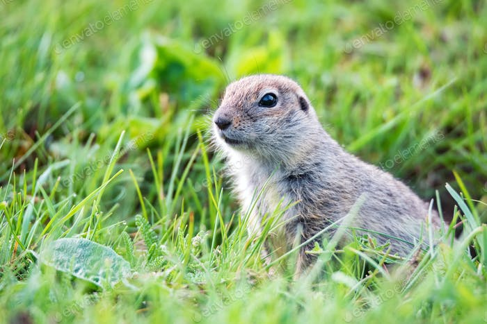 Mountain Caucasian Gopher or Spermophilus musicus in grass in Russia
