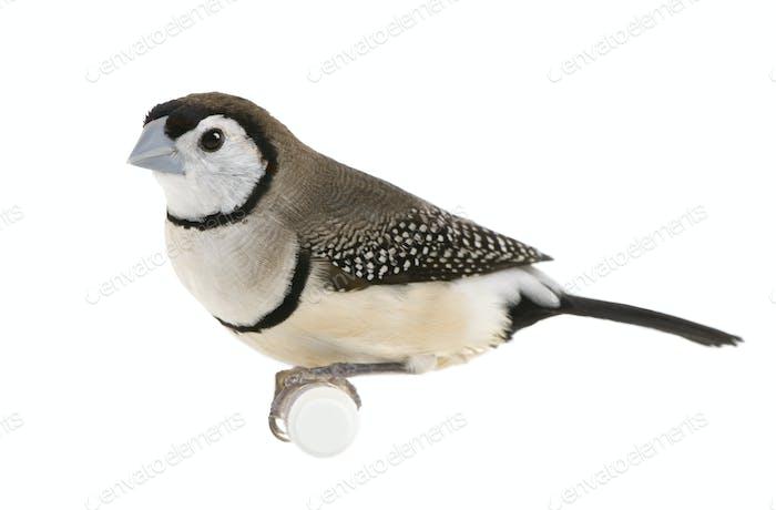 Double-barred Finch - Taeniopygia bichenovii