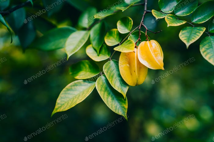 The star apples or carambola hanging on the trees against dark background