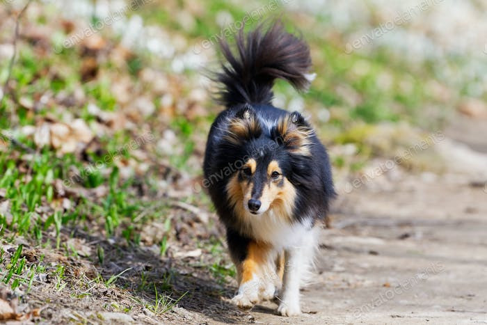 Tricolor shetland sheepdog walking on the road