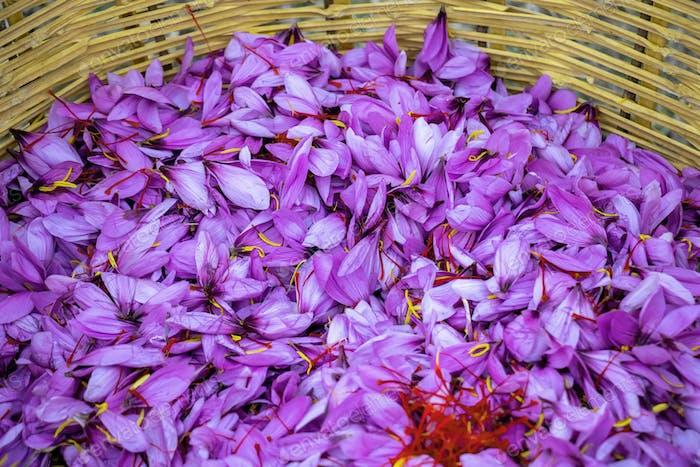 Saffron crocus flowers, Delicate purple petals background, above view