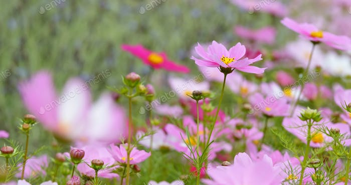 Cosmos flowers blooming in the park