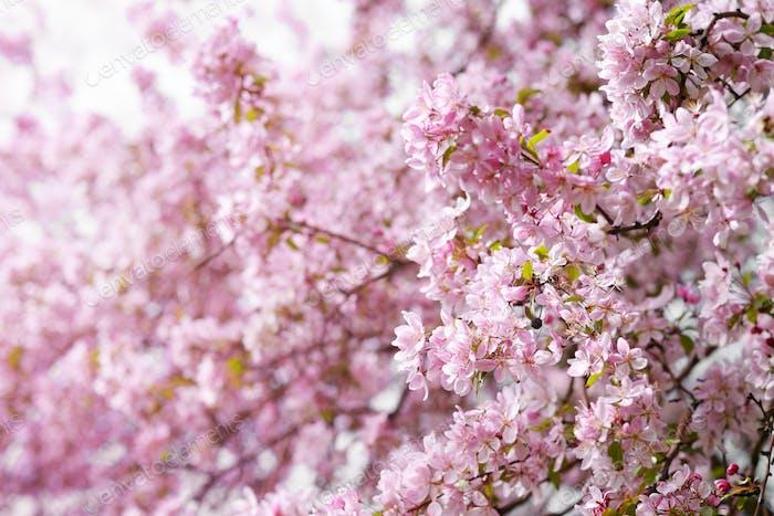 Pink flowers of wild apple tree