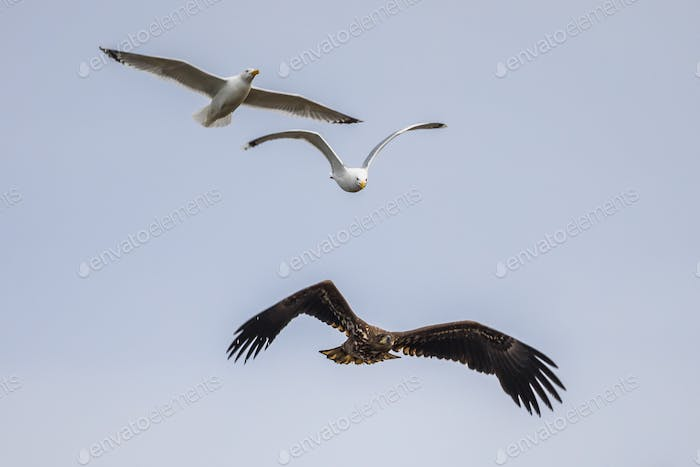 White-tailed eagle chased by gulls