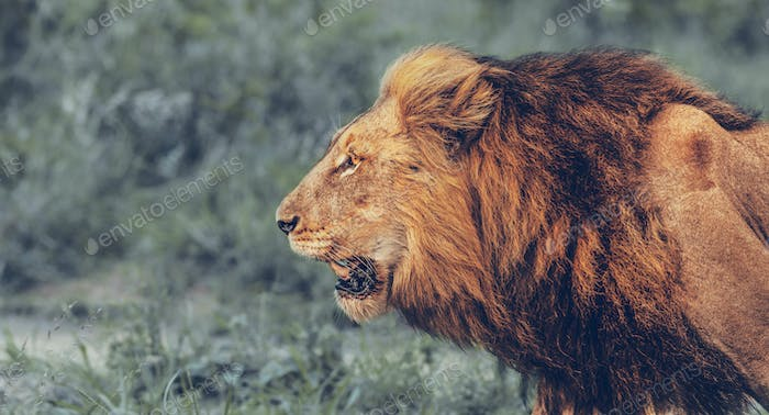Angry Lion Portrait