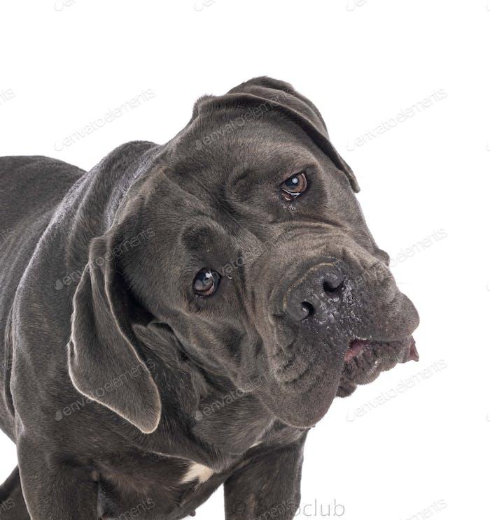 cane corso in studio