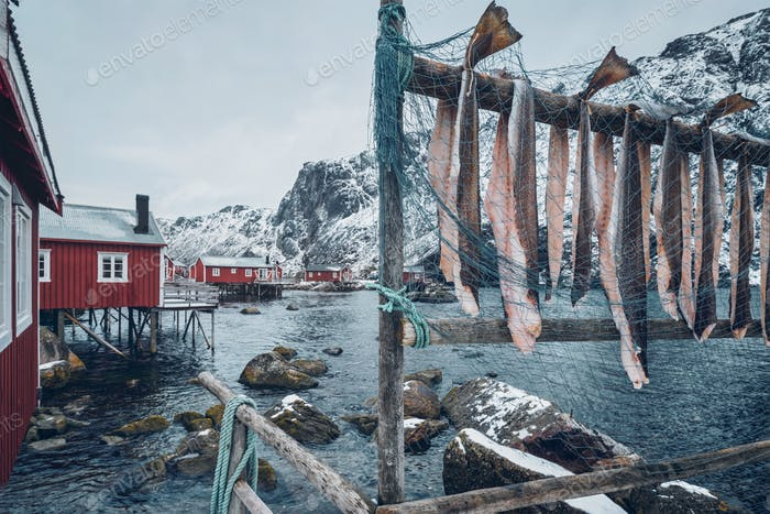 Drying stockfish cod in Nusfjord  fishing village in Norwa