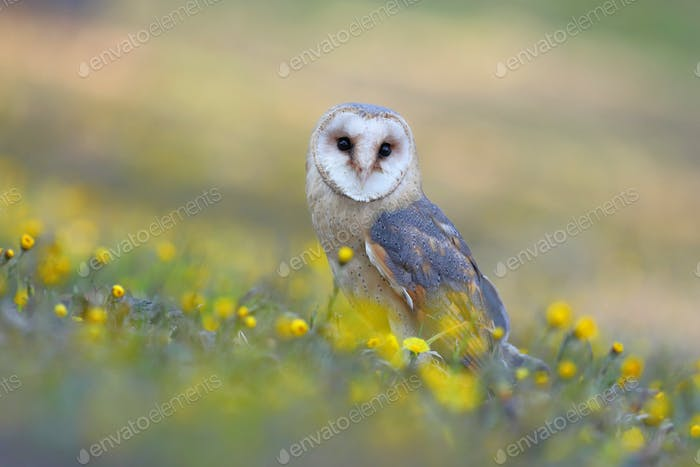 Barn owl sitting on the ground between yellow wild flowers in summer