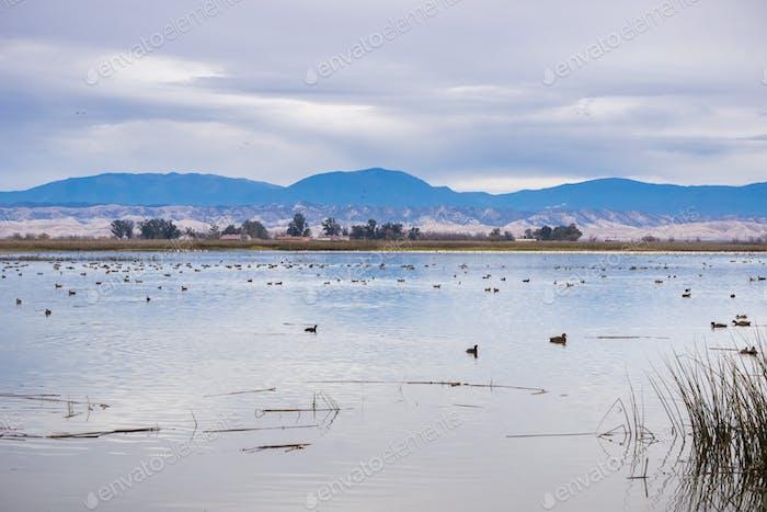 Wasservögel auf den restaurierten Sümpfen von Sacramento National Wildlife Refuge, Kalifornien