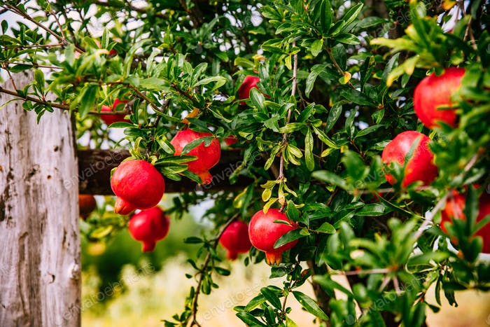 Red ripe pomegranates on the tree in the garden in Greece