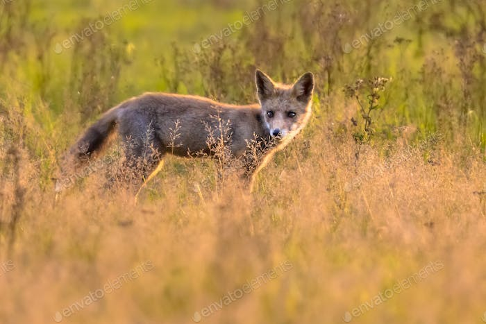 Red Fox juvenile hunting for mice