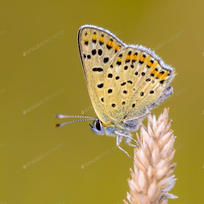 European Butterfly Sooty Copper