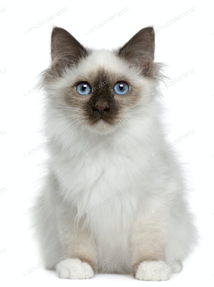Birman kitten (4 months old)