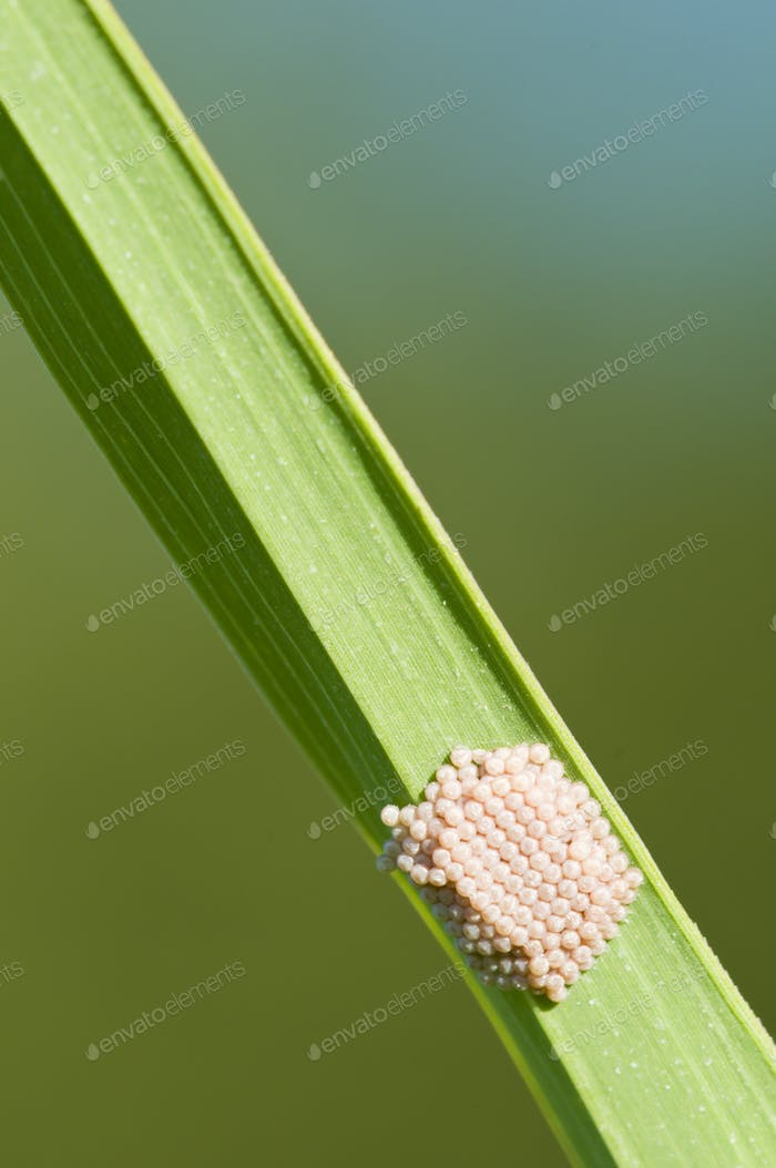 Butterfly Eggs on a Blade of Grass