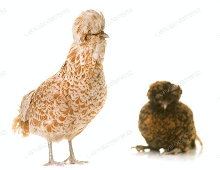 Padovana chicken in studio