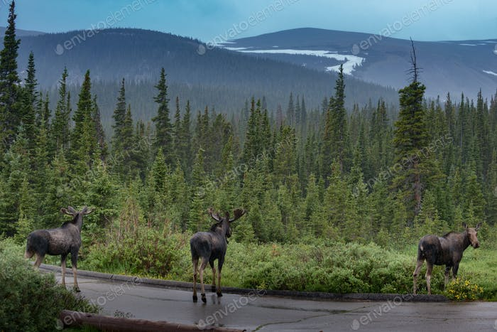 Three moose by the road