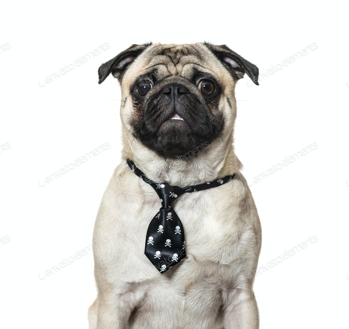 Pug wearing tie against white background