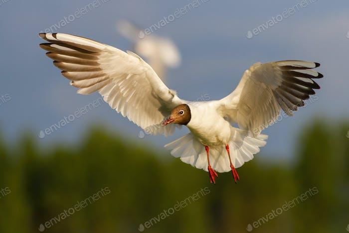 Black-headed gull flying in the air in summertime