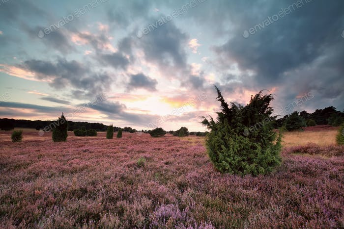pink heather flowers and juniper
