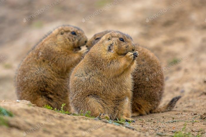 Group of Cute prairie dogs  feeding