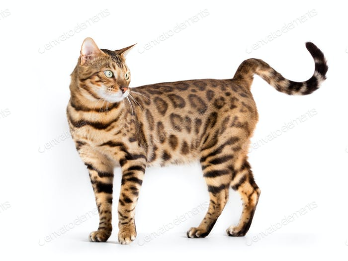 Bengal cat isolated on white background. Purebred