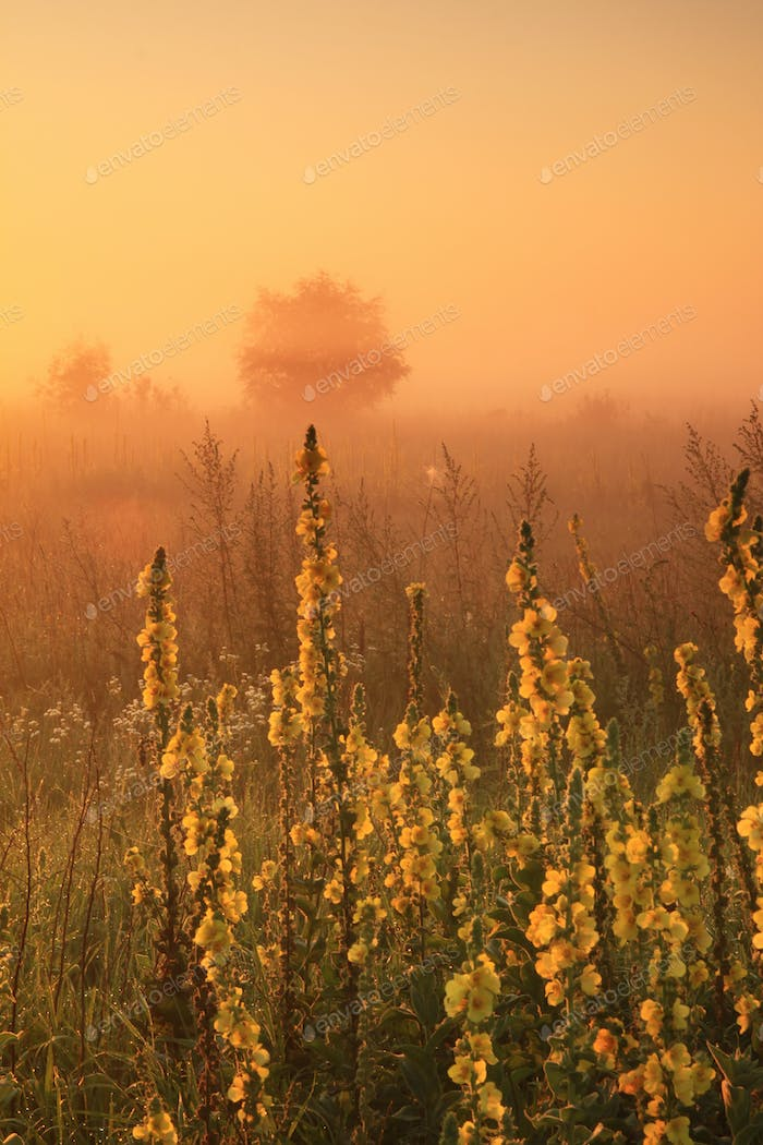 Misty sunrise on the field