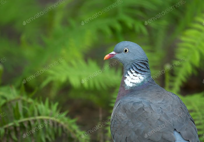 Wood pigeon ( Columba palumbus) summer portrait
