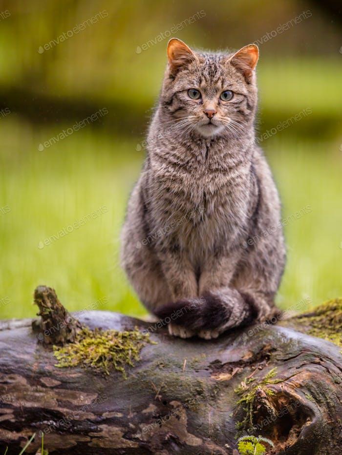 Cute European wild cat with distictive tail