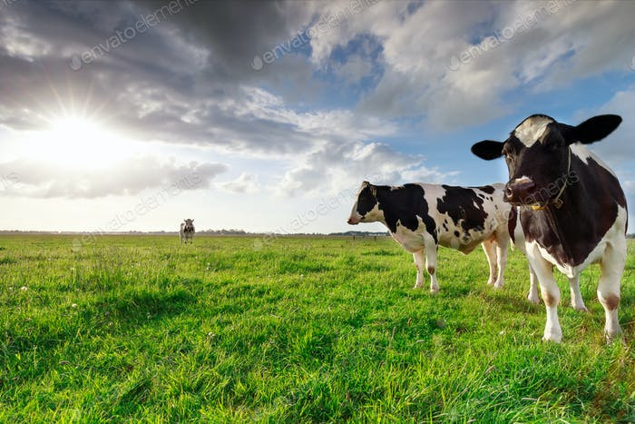milk cows on sunny pasture and sunshine