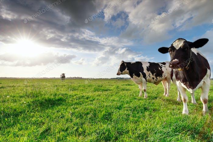 Milchkühe auf sonniger Weide und Sonnenschein