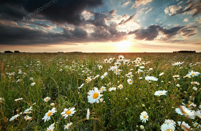 sunset over field with chamomile flowers