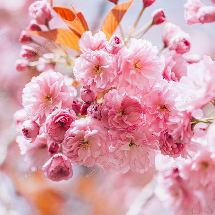 Sakura-Blumen in voller Blüte