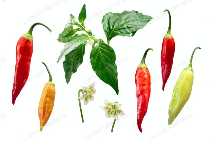 Aji Cristal chile-Capsicum baccatum elements, paths
