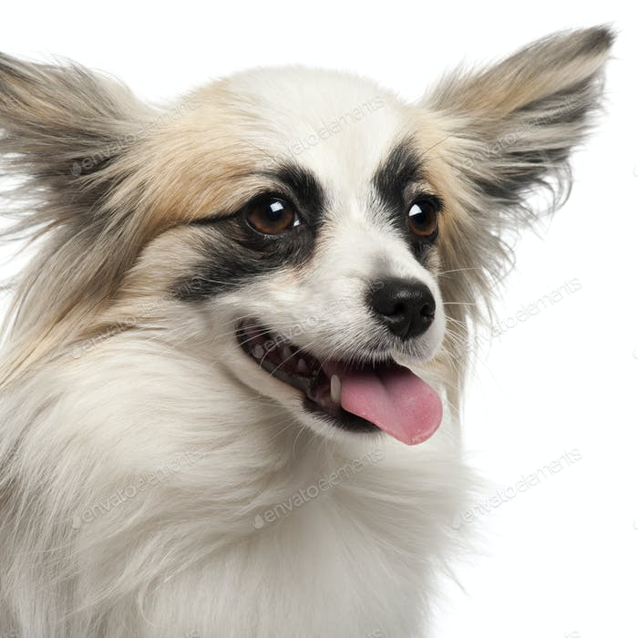Close-up of Papillon, 15 months old, in front of white background