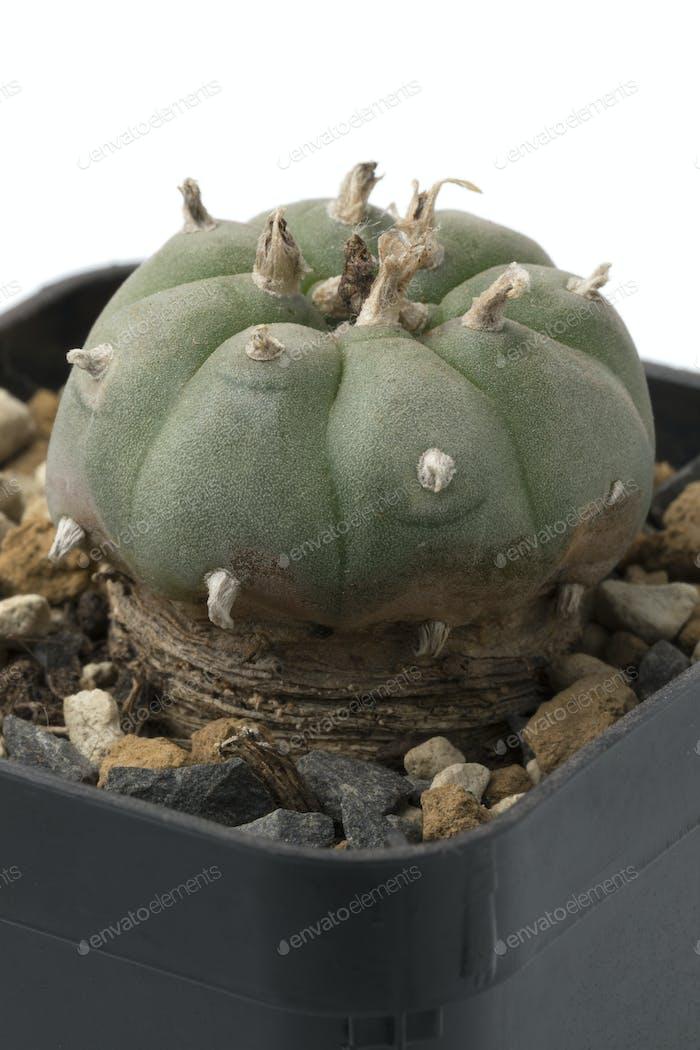 Grüner Peyote Kaktus in einem Topf