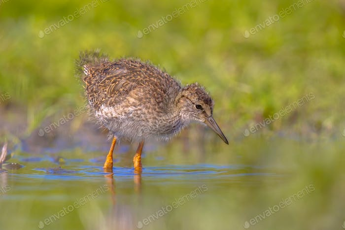 Black-tailed Godwit bird chick wading