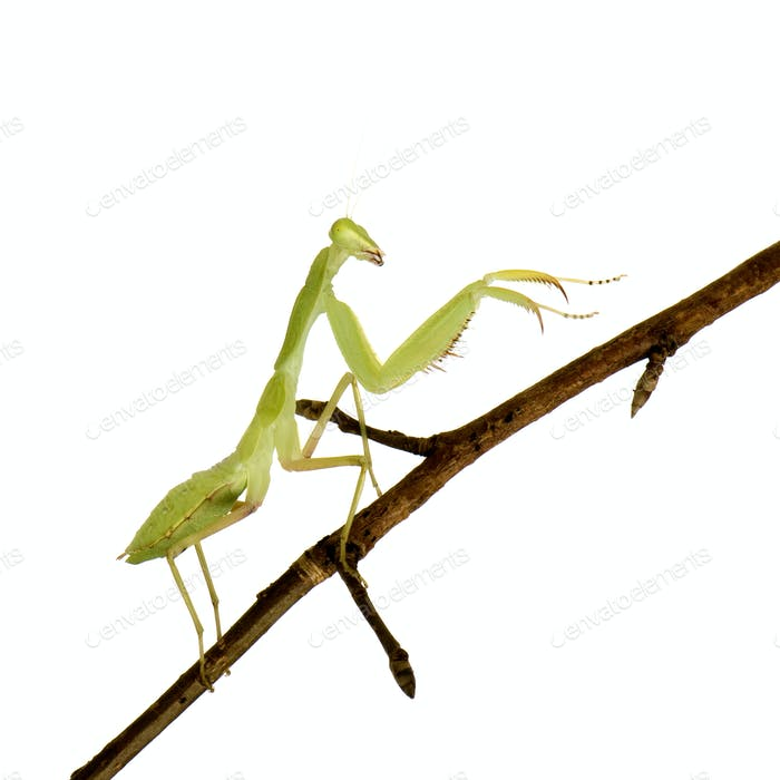 Young praying mantis - Sphodromantis lineola