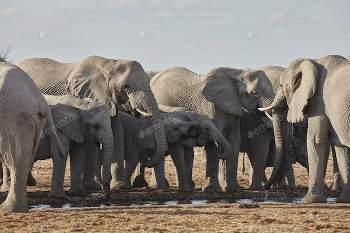Herdof African elephants, Loxodonta africana, standing at a watering hole in grassland.