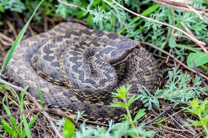Vipera ursinii or meadow viper