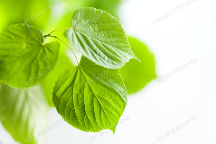 fresh green leaves natural background