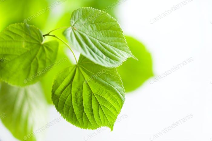 frische grüne Blätter natürlichen Hintergrund